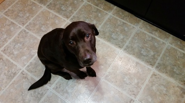 Meet Jazz, our ever-hopeful chocolate Lab.